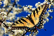 218px-Eastern_tiger_swallowtail3