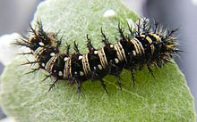 220px-American_Lady_Butterfly_caterpillar