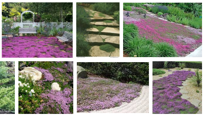 """Mother of Thyme, creeping thyme spreads to 18"""" wide. Spring flowers"""