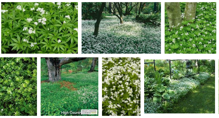 Sweet woodruf spreads by rhizomes and can easily fill any space with only a few plants. may invade areas you don't want.